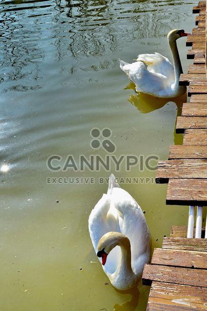 Cisne branco s - Free image #280973