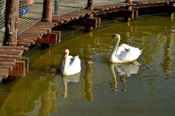 White swan - Kostenloses image #280983
