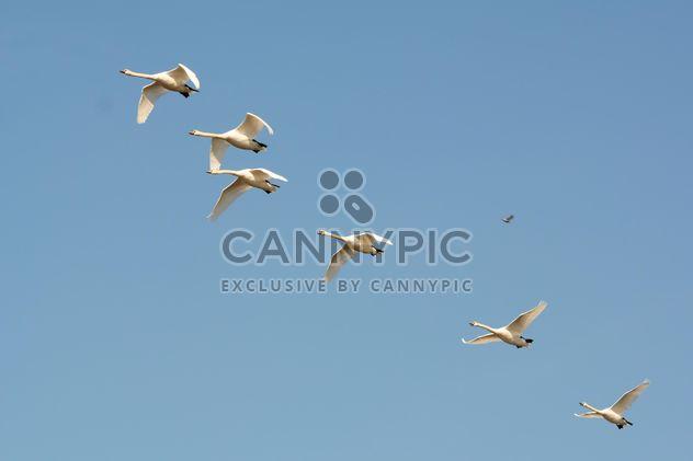 Cisnes brancos voando - Free image #280993