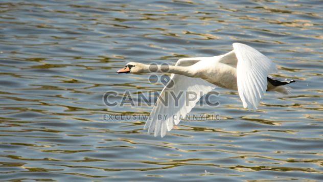 Volando sobre el lago del cisne - image #281023 gratis