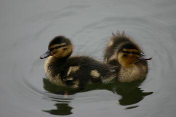 Baby Ducks - image #281093 gratis