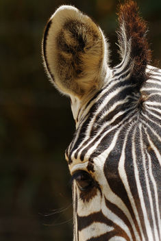 Zebra and Camera - image gratuit #281183