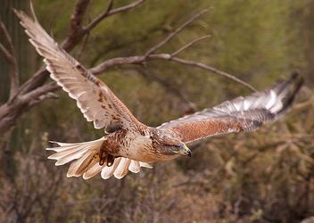 Ferruginous Hawk 007 - Free image #281223