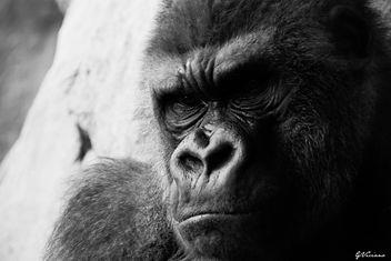 Gorila - Gorilla - image gratuit #281253