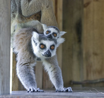 Ringtail Lemur with baby on her back - image gratuit #281303