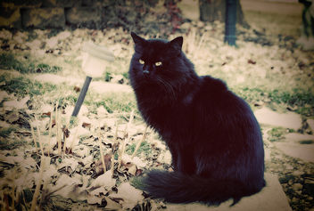 black cat - image #281313 gratis