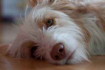 sleepy dog - image #281413 gratis