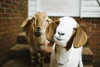 Goats - image gratuit #281633