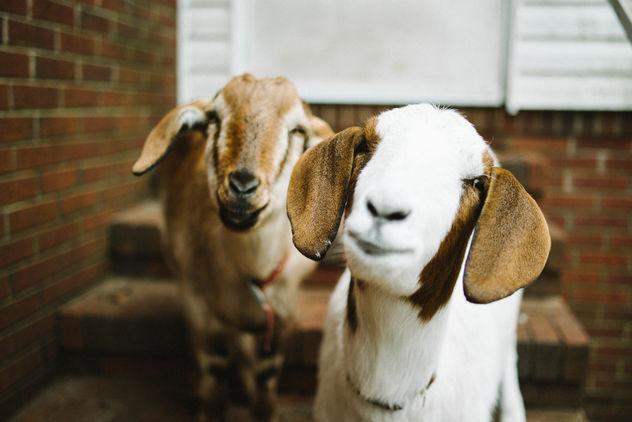 Goats - Free image #281633