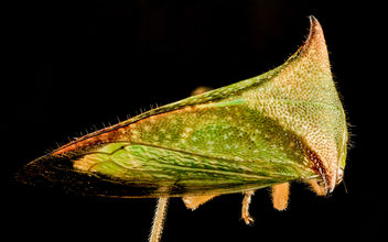 Buffalo Treehopper, back, MD, PG County_2013-08-20-17.27.49 ZS PMax - Free image #281983