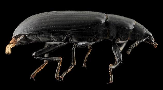 Darkling Beetle, side, Upper Marlboro_2013-10-08-22.50.24 ZS PMax - Free image #282123