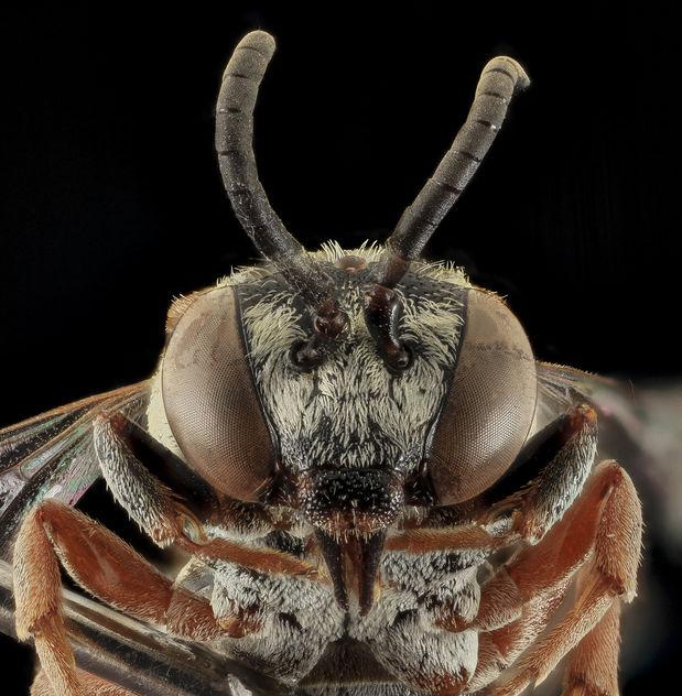 Epeolus minimus, F, Face, Co., SD_2013-11-20-16.35.13 ZS PMax - Free image #282243