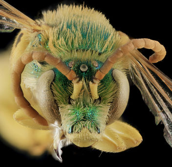 Agapostemon femoratus,M, Face White Pine Co,NV_2013-12-12-14.44.46 ZS PMax - бесплатный image #282293