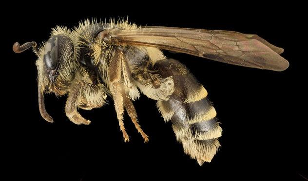Andrena nebecula, F, Side, MD, Anne Arundel_2014-02-11-16.56.48 ZS PMax - Free image #282493