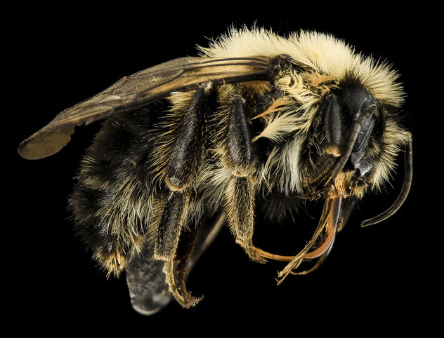 Intersex Bombus bimaculatus, gyn, male side, Washington, OH_2014-05-07-18.09.25 ZS PMax - image gratuit #282673