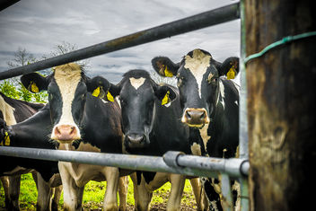 Three irish cows - Free image #282733