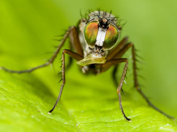 Long-legged Fly #2 - Free image #282783