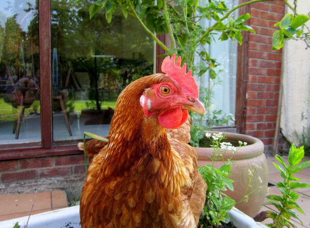 Chicken Stare - Free image #282793