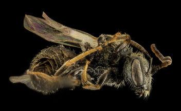 Gynandromorph, Lasioglossum hitchensi, Side, MD St Marys County_2014-05-27-16.41.14 ZS PMax - Kostenloses image #282843