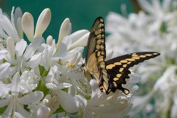 Giant Swallowtail (papilio cresphontes) - Kostenloses image #282913