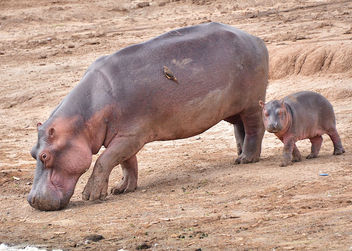 Mother and Young Hippo, Uganda - Free image #283313