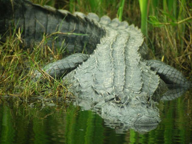 Texas Gator - Free image #283463