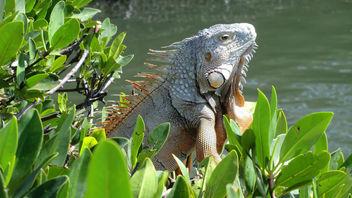 Florida: Iguana, Islamorada (Florida Key's) - Free image #283573