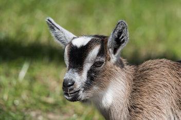 goat baby-9751 - image gratuit #283693