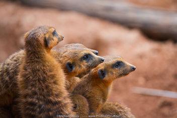 Meerkats - Free image #283803