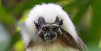 Cotton-top Tamarin at Singapore Zoo - Free image #283853