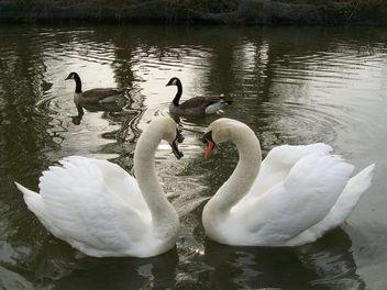 Swan love - image #284093 gratis