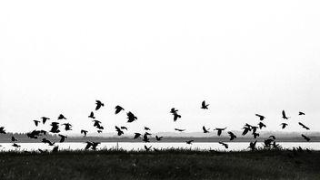 Ravens-bw - бесплатный image #284433