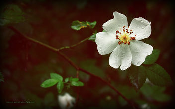 Flower - image #284483 gratis