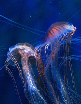 Jellyfish - image #284543 gratis