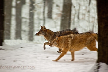 Coyotes running - Free image #284783