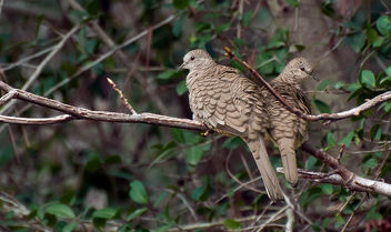 Inca Doves - бесплатный image #284913