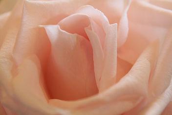 Pink rose - image #285693 gratis
