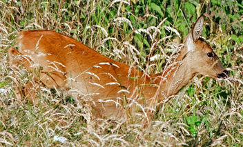 Roe Deer, Cotswolds, Gloucestershire - Free image #286593