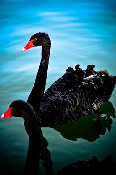 Swans - Kostenloses image #287013