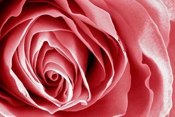 Pink Rose Macro - HDR - image gratuit #288143