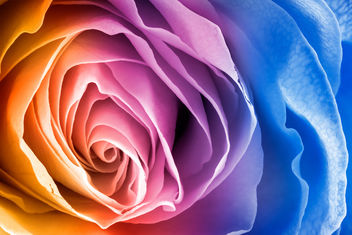 Vibrant Rose Macro - HDR - Free image #288153