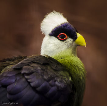 Portrait of a White-crested Turaco (EXPLORE) - image #288443 gratis