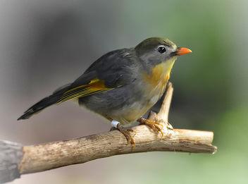 Pekin Robin (EXPLORE) - Free image #288573