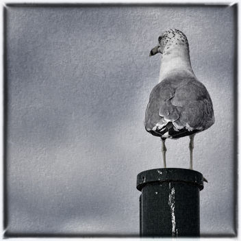 Gull on Post - Free image #289113