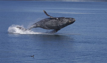 Breaching Humpback Whale (Megaptera novaeangliae) - Free image #289133