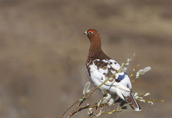 Willow Ptarmigan (Lagopus lagopus) - бесплатный image #289143