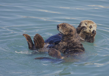 Northern Sea Otter (Enhydra lutris) - Free image #289153