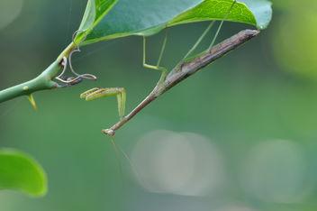 Precioussss Mantis - Kostenloses image #289193