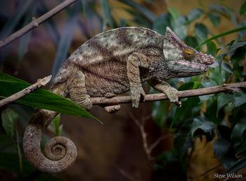Parson's Chameleon - Free image #289313
