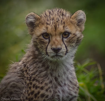 Portrait of a Cheetah Cub - image #290113 gratis